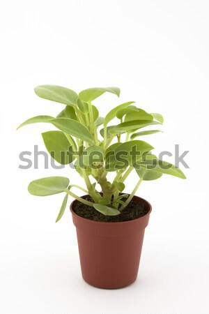 Plant isolated on white Stock photo © sqback