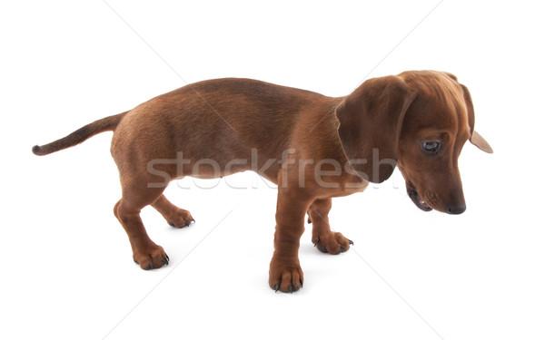 Tacskó kutyakölyök hónapok öreg kutya portré Stock fotó © sqback