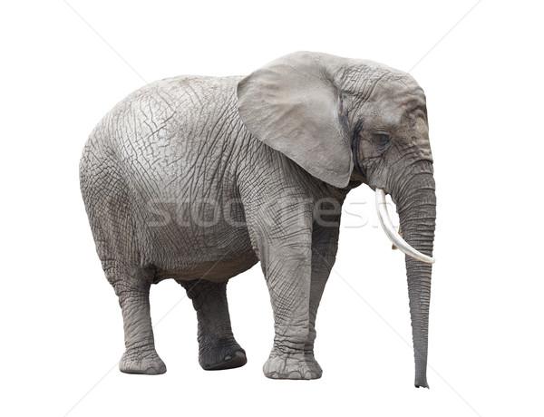 Elefante africano aislado blanco África África Foto stock © sqback