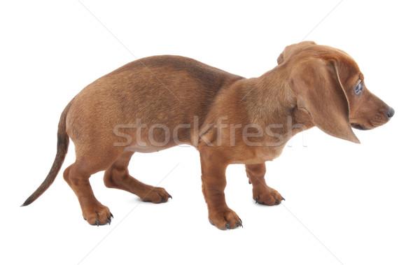 Dachshund cachorro meses edad perro funny Foto stock © sqback
