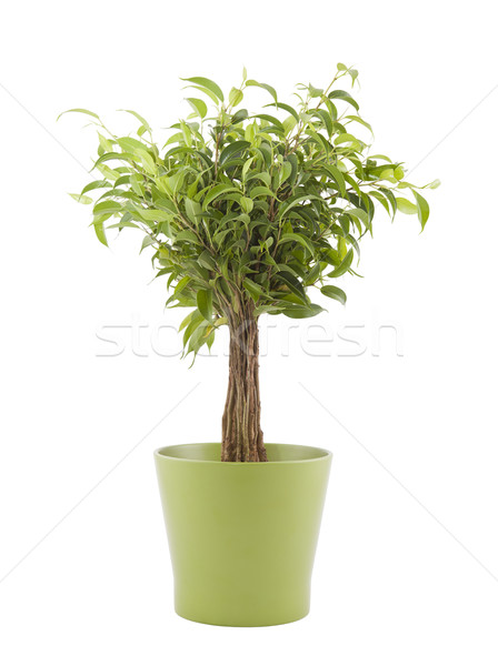 Ficus Benjamin in green pot with clipping path Stock photo © sqback