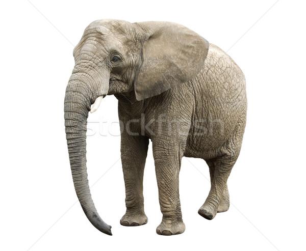 Elefante africano África África safari aislado Foto stock © sqback