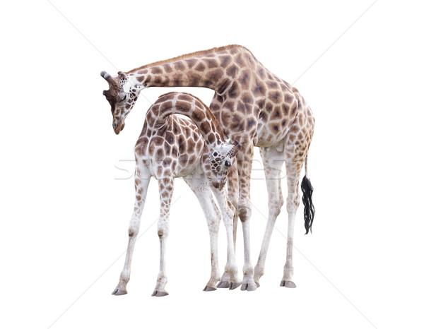 Twee permanente giraffen geïsoleerd witte liefde Stockfoto © sqback