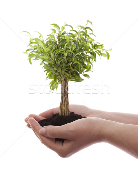 Hands holding green tree isolated on white Stock photo © sqback