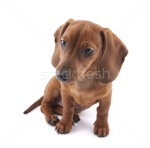 Dachshund puppy isolated on white background Stock photo © sqback