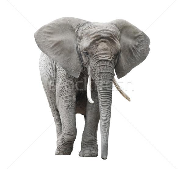 Afrika fil yalıtılmış beyaz Afrika Afrika Stok fotoğraf © sqback