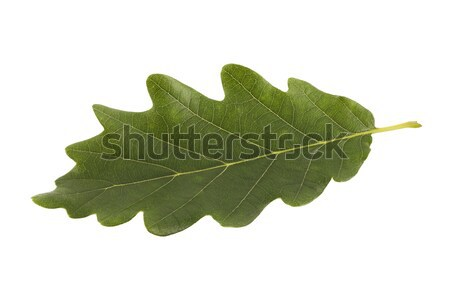 Green oak leaf isolated on white with clipping path  Stock photo © sqback