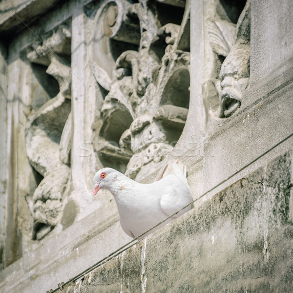 White Dove Stock photo © SRNR