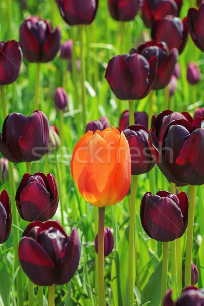 Tulipas vermelho flor preto ambiente crescimento Foto stock © SRNR
