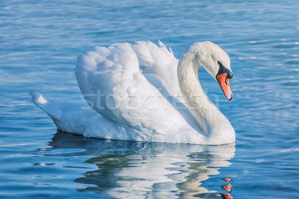 Cisne lago branco pássaro rio animal Foto stock © SRNR