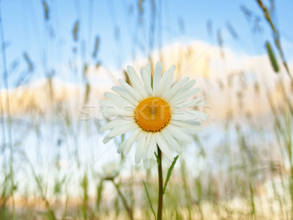 Stock fotó: Százszorszép · virág · naplemente · nyár · növény · gyönyörű