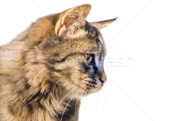 Portrait of the Cat Stock photo © SRNR