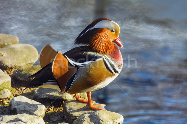 Mandarijn- eend steen vogel dier milieu Stockfoto © SRNR