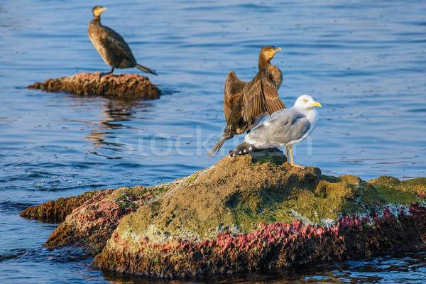 Marine Birds on the Rocks Stock photo © SRNR