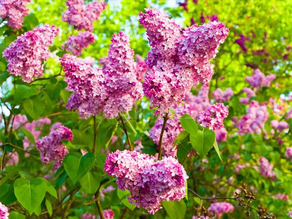 Flores verão jardim natureza buquê Foto stock © SRNR