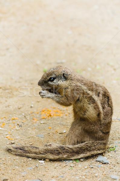 Chipmunk pequeno terreno esquilo alimentação animal Foto stock © SRNR