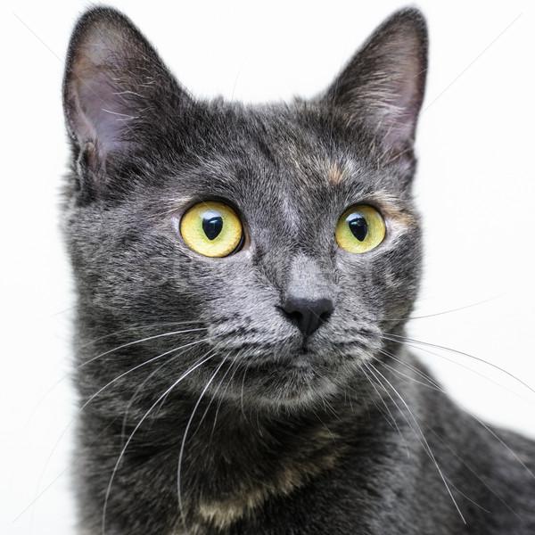 Macska portré házimacska fény arc Stock fotó © SRNR
