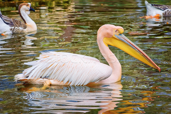 Pelican on the Pond Stock photo © SRNR