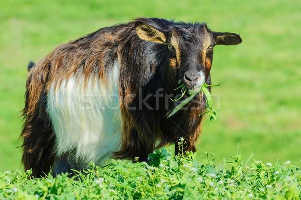A Billy Goat Stock photo © SRNR