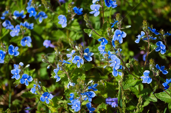 forget-me-not Stock photo © SRNR