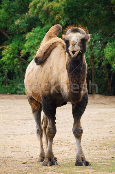 Teve állatok állat állatkert kint emlős Stock fotó © SRNR