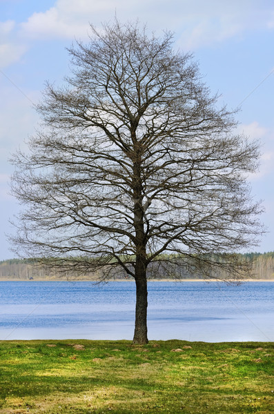 Bare Tree Stock photo © SRNR