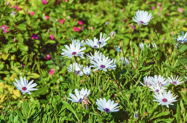 Flores grama raso flor natureza Foto stock © SRNR