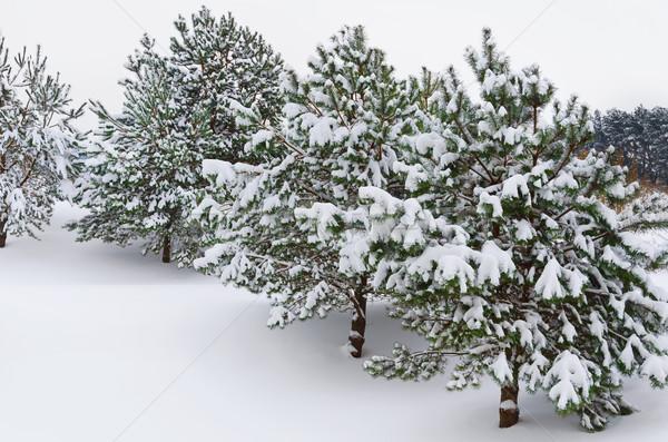 Stock photo: Fir Trees