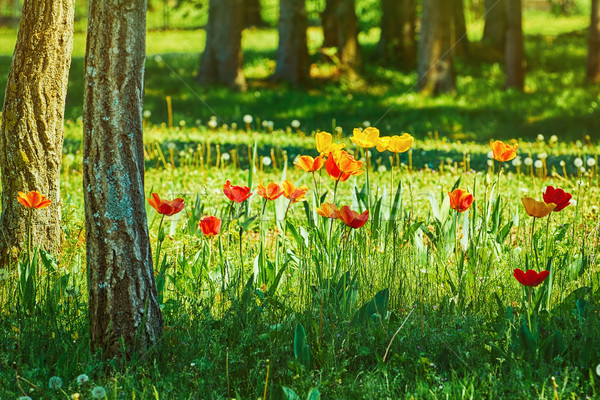 Tulips in the Forest Stock photo © SRNR