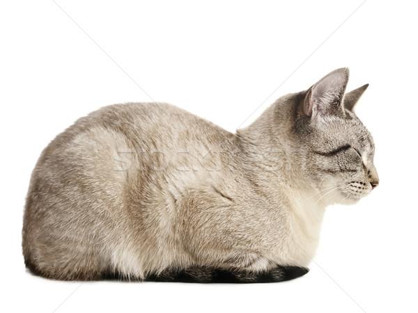 кошки спальный сиамские кошки белый только животного Сток-фото © SRNR