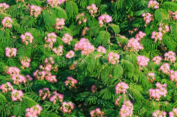 Blooming Acacia Stock photo © SRNR