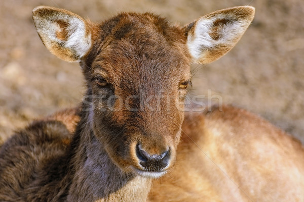 Portrait of Deer Stock photo © SRNR