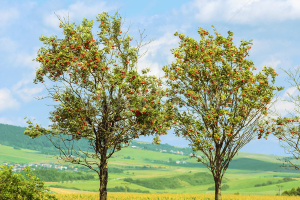 Berg as twee bomen boom landschap Stockfoto © SRNR