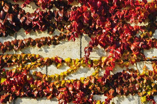 Sarmaşık taş duvar kapalı duvar yaprak yaprakları Stok fotoğraf © SRNR