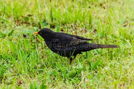 Blackbird herbe verte nature animaux extérieur sauvage Photo stock © SRNR