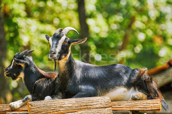 Goats on the Stack of Wood Stock photo © SRNR