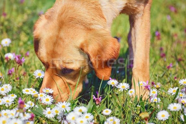 Sniffing Dog  Stock photo © SRNR