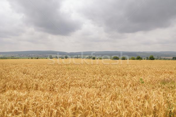Field of Rye Stock photo © SRNR