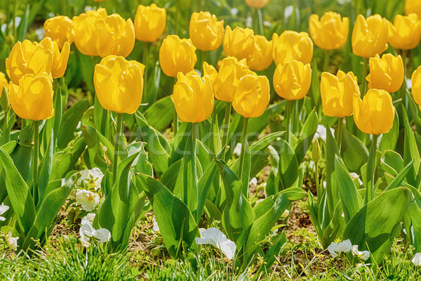 Flower Bed of Yellow Tulips Stock photo © SRNR