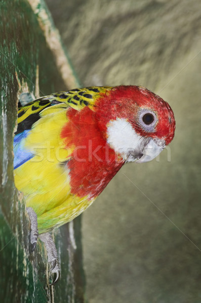 Rosella Parakeet Stock photo © SRNR