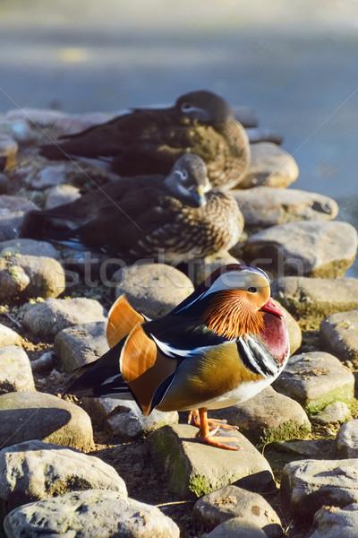 Mandarin Duck Stock photo © SRNR