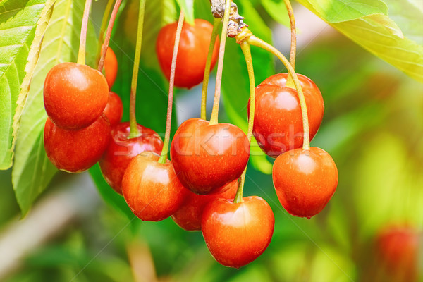 Cherry Stock photo © SRNR