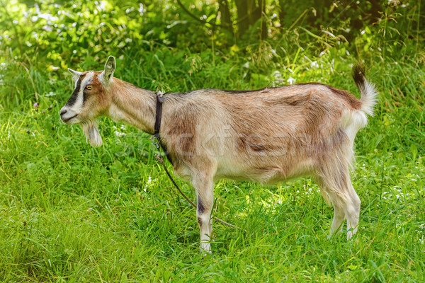 Stock photo: Billy Goat