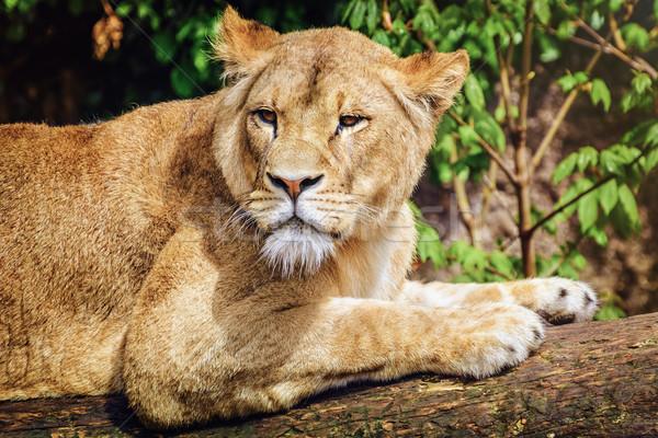 Lioness Stock photo © SRNR