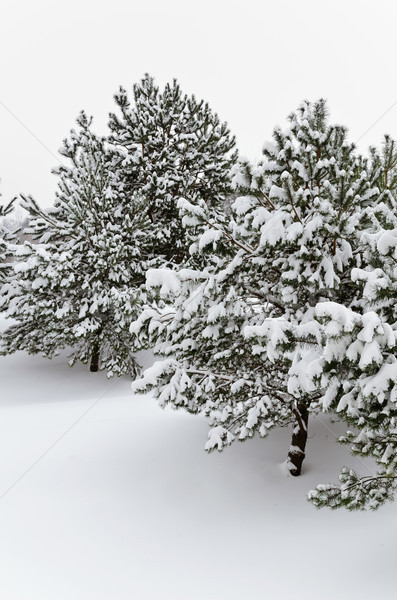 Fir Trees Stock photo © SRNR