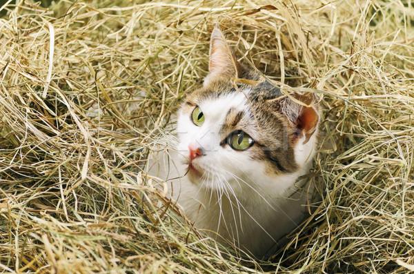Cat In Hay Stock photo © SRNR