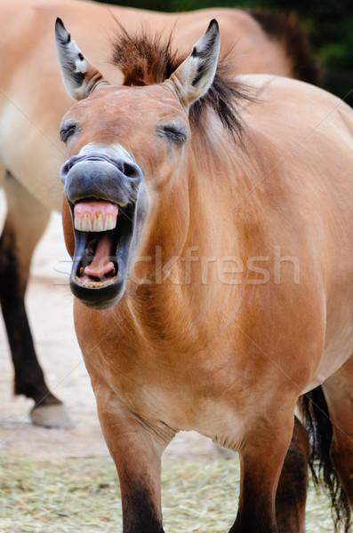 Przewalski Horse Stock photo © SRNR