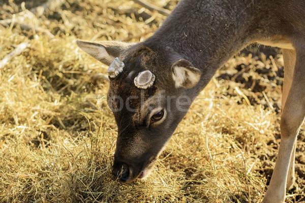 Deer Stock photo © SRNR