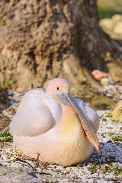 Pelican Stock photo © SRNR