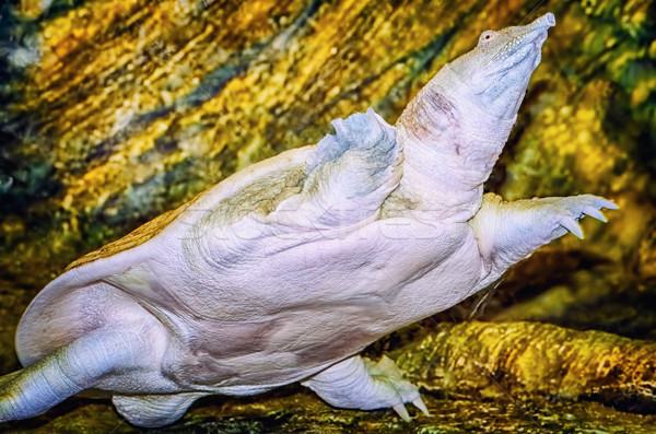 Indian Flapshell Turtle Stock photo © SRNR
